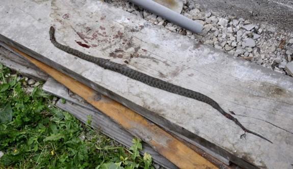 zmija rosulje1