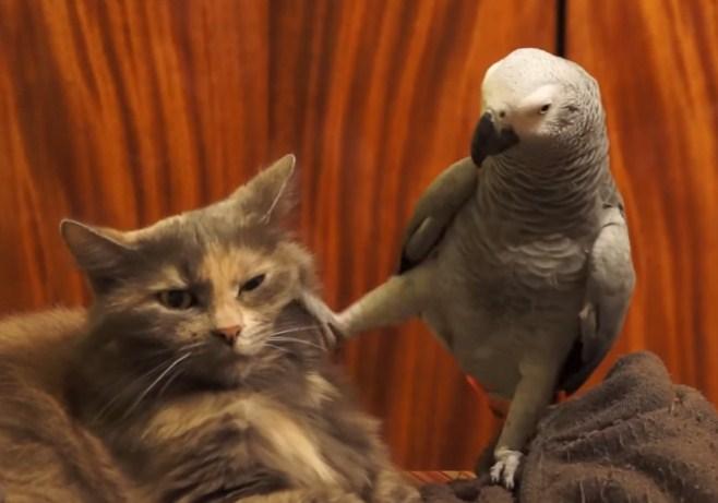 Ovaj papagaj želi privući pažnju svog prijatelja (Video)