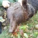 medvjed ubijen