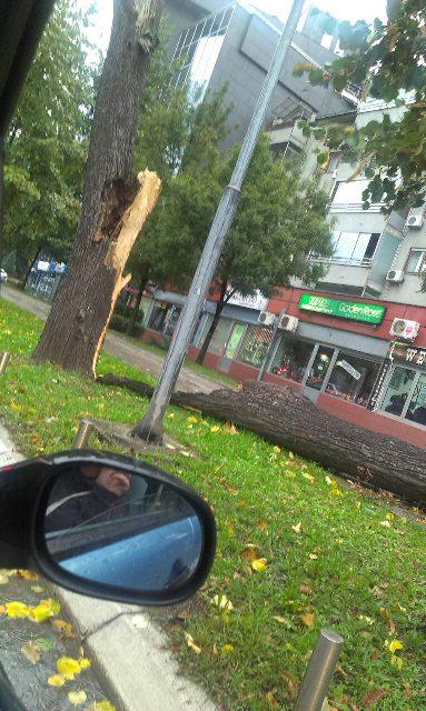 drvo-borik-1