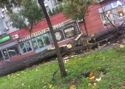 drvo-borik-2