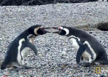 borba-pingvina