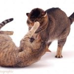 Tabby cat Dainty, turning on her mate Mowgli