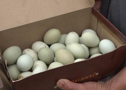 zelena jaja