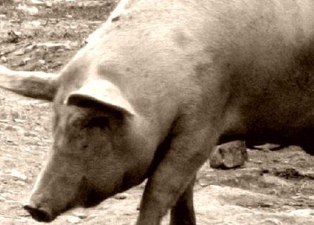svinje